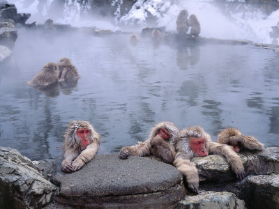 Group of Japanese Snow Monkeys Relaxes around Hot Pool Lámina fotográfica por Jeff Foott