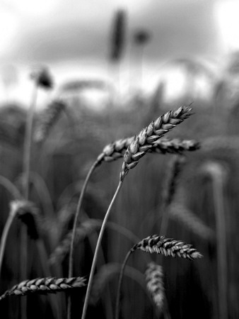 Close Up of Wheat Straws in a Field Photographic Print