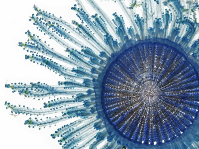 The Pigment of a Blue Button Jellyfish Blocks Ultraviolet Rays Fotografická reprodukce