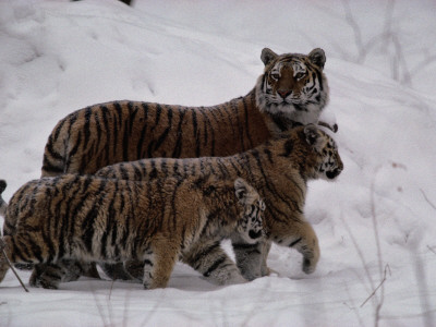 A Captive Siberian Tiger and Her Cubs in the Snow Photographic Print by Michael Nichols