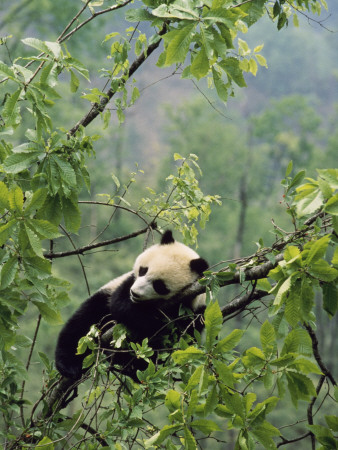 A Young Male Giant Panda, Ailuropoda Melanoleuca, Awaits its Mother Photographic Print
