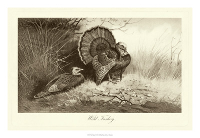 Wild Turkey Giclee Print by A. Thorburn