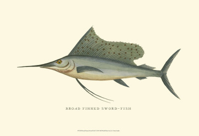 Broad Finned Sword-Fish Posters