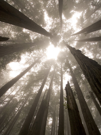 Coast Redwood Trees, Sequoia Sempervirens, in Fog Lámina fotográfica