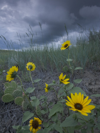 Plains Sunflowers in the Grasslands are Threatened by Stormclouds Photographic Print by Phil Schermeister
