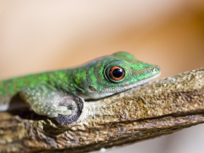 A Gecko on a Branch Photographic Print by Alison Wright