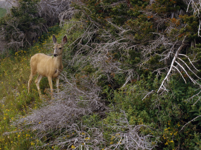 Ears Cocked, a Mule Deer Pauses in a Clearing in Cascade Canyon Photographic Print