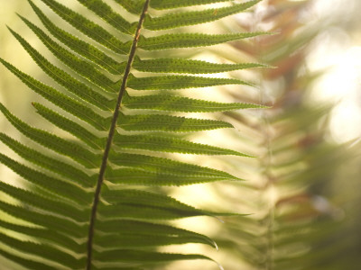 A Common Sword Fern, Polystichum Munitum Lmina fotogrfica