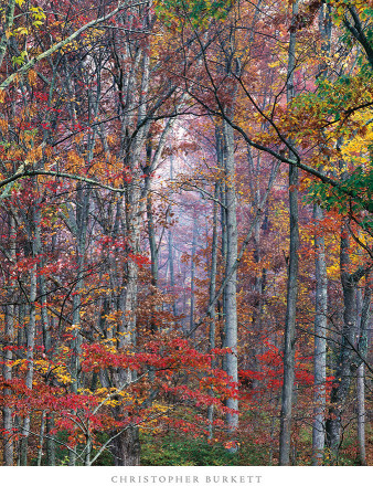 Glowing Autumn Forest, Virginia Poster by Christopher Burkett