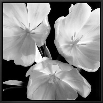 Tulips Framed Canvas Print by Darlene Shiels