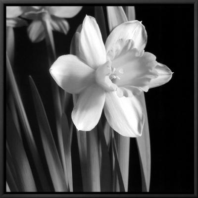 Daffodil Framed Canvas Print by Darlene Shiels