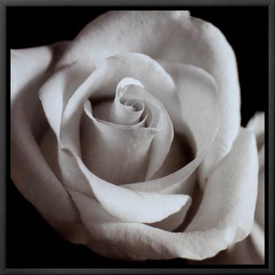 Open Rose Framed Canvas Print