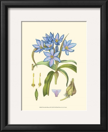 Periwinkle Blooms III Prints by Samuel Curtis