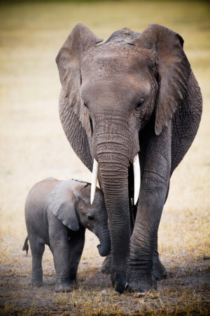Elephant and Baby Plakat