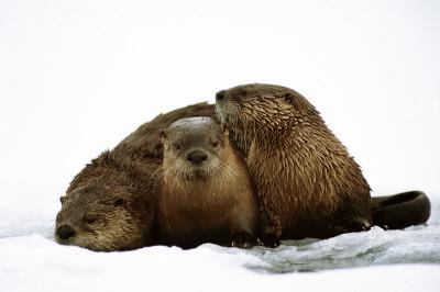 River Otters Prints