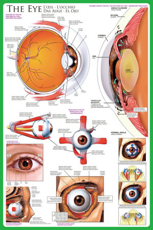 Scientific illustrations of the human eye.
