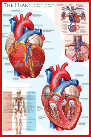 The heart biology anatomy poster for classrooms