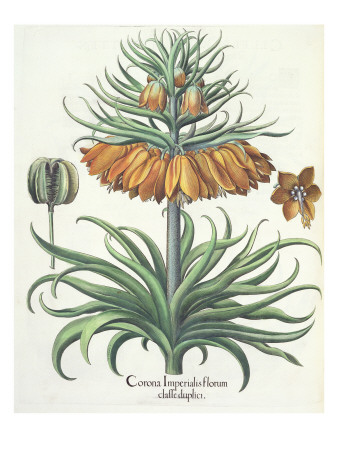 Fritillary: Corona Imperialis Florum Classe Duplici, from the 'Hortus Eystettensis' by Basil Besler Premium Giclee Print by  German School