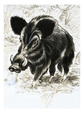 Wild Boar Premium Giclee Print by  English School