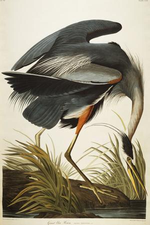 Great Blue Heron Premium Giclee Print by John James Audubon