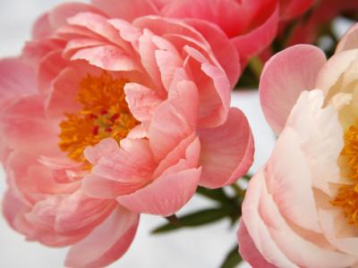 Delicate Blossom II Photo by Nicole Katano
