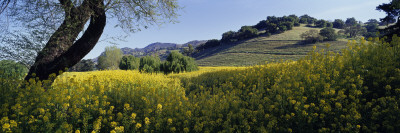 Mustard Flowers in a Field, Napa Valley, California, USA Wall Decal by  Panoramic Images
