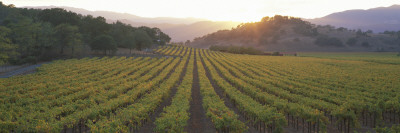 Sunset, Vineyard, Napa Valley, California, USA Wall Decal by  Panoramic Images