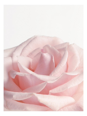 Powder Pink Rose I Wallstickers