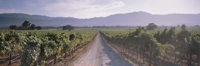 Road through a Vineyard, Napa Valley, California, USA Wall Decal by  Panoramic Images
