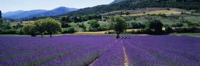 Mountain Behind a Lavender Field, Provence, France Wallstickers