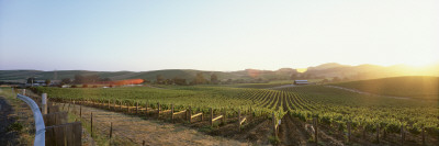 Vineyard, Spring, Carneros District, Napa Valley, California, USA Wall Decal by  Panoramic Images