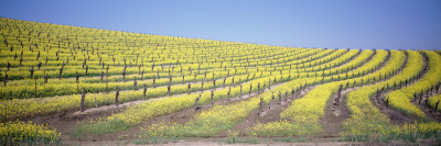 Vineyard on a Hill, Napa Valley, California, USA Wall Decal by  Panoramic Images