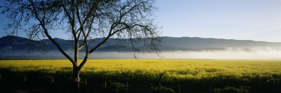 Fog over Crops in a Field, Napa Valley, California, USA Wall Decal by  Panoramic Images