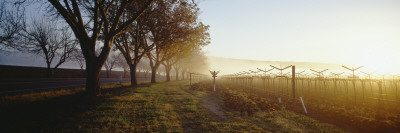 Trees in a Vineyard, Napa Valley, California, USA Wall Decal by  Panoramic Images