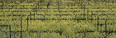 Mustard Field, Napa Valley, California, USA Wall Decal by  Panoramic Images