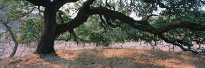Oak Tree on a Field, Sonoma County, California, USA Wall Decal by  Panoramic Images
