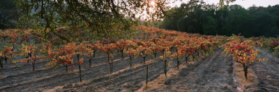 Vineyard on a Landscape, Sonoma County, California, USA Wall Decal by  Panoramic Images