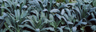 Kale in a Field Wall Decal by  Panoramic Images