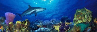 Caribbean Reef Shark Rainbow Parrotfish in the Sea Vinilo decorativo
