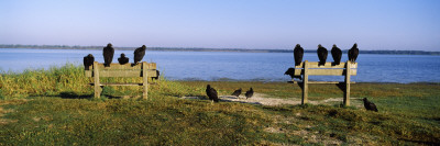 Black Vultures Perching on Benches, Myakka River State Park, Sarasota County, Florida, USA Wall Decal by  Panoramic Images