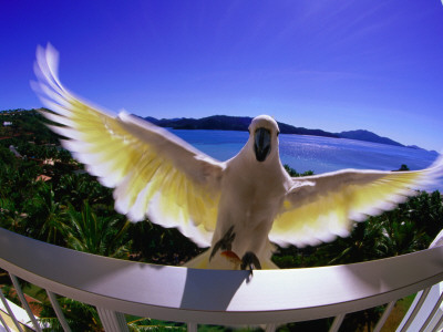 Cockatoo on Hotel Room Balcony Photographic Print by Christopher Groenhout