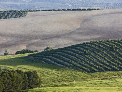 Olive Fields Share Space with Other Crops Photographic Print by Diego Lezama