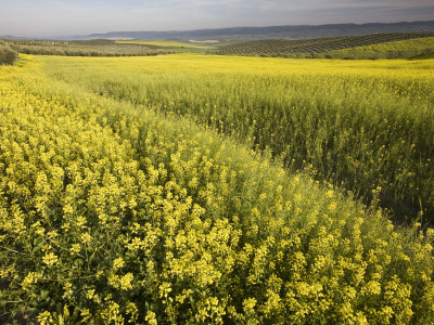 Rape Crop Flowers in Springtime in Northwestern Jaen Province Photographic Print by Diego Lezama