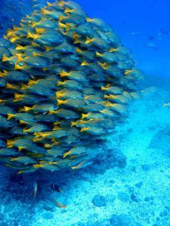 School of Colourful Fish in Blue Waters Off Isla De Cano Photographic Print by Johnny Haglund