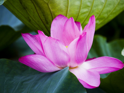 Lotus Flower Detail, West Lake Photographie