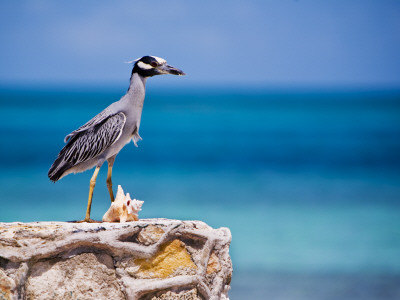 Adult Yellow-Crowned Night-Heron at Barracuda's, Cape Eleuthera Photographic Print by Michael Lawrence