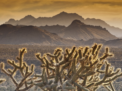 Cholla Cacti with Providence Mountains, Mojave National Preserve Photographic Print by Witold Skrypczak
