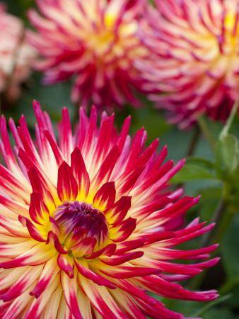 Dahlia Flowers at the Dahlia Garden in Golden Gate Park Photographic Print by Sabrina Dalbesio