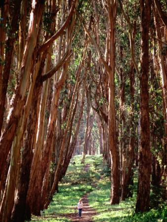 Woman Walking Through Eucalyptus Trees, the Presidio Photographic Print by Thomas Winz
