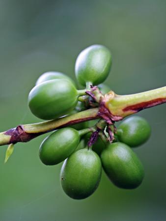 Coffee Beans Growing at Finca (Plantation) on Ruta De Las Siete Cascadas Fotografisk tryk af Paul Kennedy